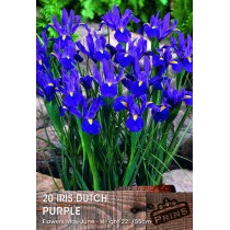 Iris Dutch Purple - 20 Pack