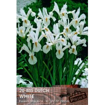 Iris Dutch White - 20 Pack