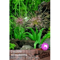Allium Schubertii - 2 Pack