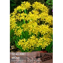Allium Moly - 20 Pack