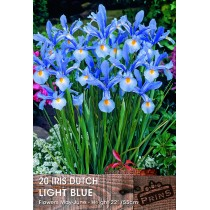 Iris Dutch Light Blue - 20 Pack