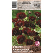 1 Cosmos Chocolate Plant