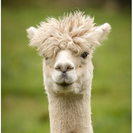 Come say Hi to the Alpacas - 2nd Dec - 8th Dec