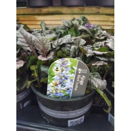 Ajuga Black Scallop