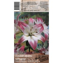 2 Lilium Asiatic Lollypop