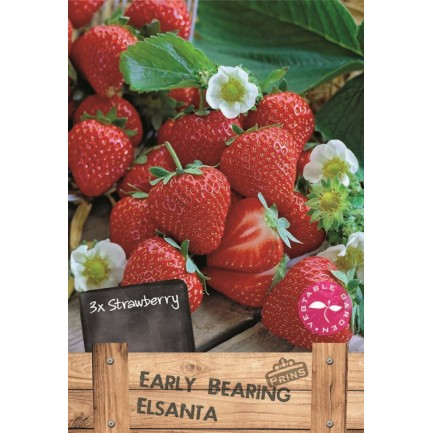 3 Early Bearing Elsanta Strawberry