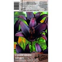 2 Lilium Asiatic Landini