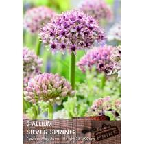 Allium Silver Spring - 2 pack