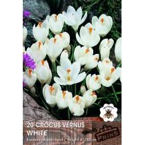 Crocus Vernus White - 20 pack