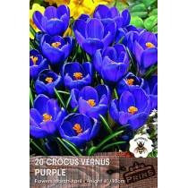 Crocus Vernus Purple - 20 pack