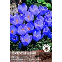 Crocus Vernus Blue - 20 pack