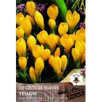 Crocus Flavus Yellow - 20 pack