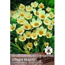 Crocus Species Chrysanthus Cream Beauty - 20 pack