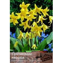 Erythronium Pagoda - 2 pack