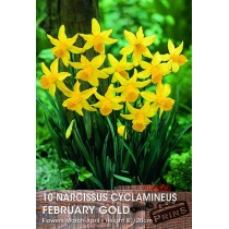 Narcissus Cyclamineus February Gold - 10 Pack