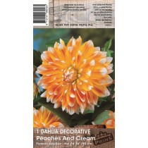 Dahlia Peaches and Cream