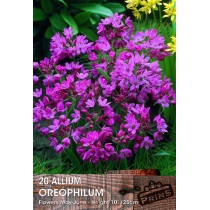 Allium Oreophilum - 20 Pack
