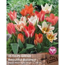 Tulips Greigii Beautiful Balance - 25 pack