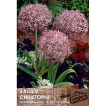 Allium Christophii - 3 pack