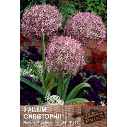 Allium Christophii - 3 pack