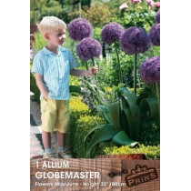 Allium Globemaster - 1 pack