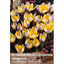 Crocus Species Chrysanthus Advance - 20 pack